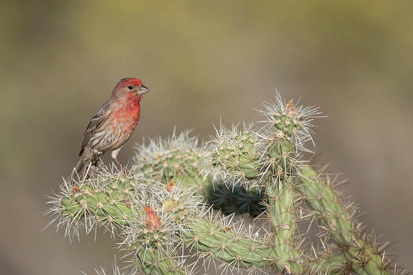 House Finch Photograph - Usa, Arizona, Buckeye by Jaynes Gallery