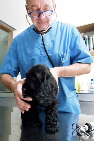 Wall Art - Photograph - Vet Examining A Dog by Mauro Fermariello/science Photo Library