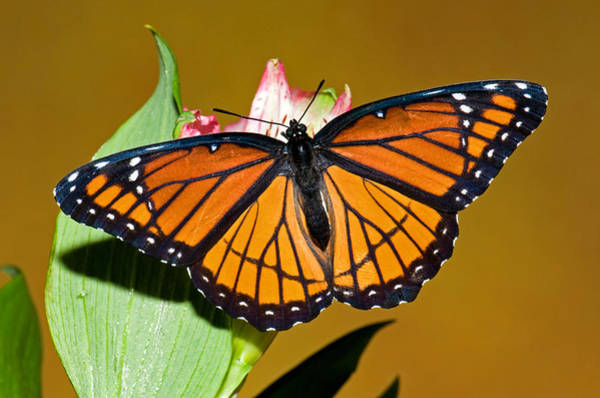 Wall Art - Photograph - Viceroy Butterfly by Millard H. Sharp