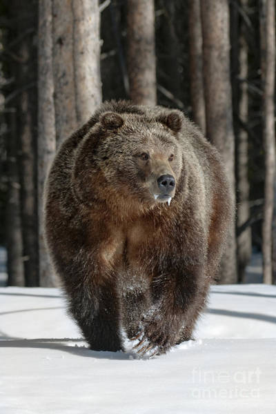 Grizzly Bears Photograph - 110423- Midway Grizzly by Pamela Talasco