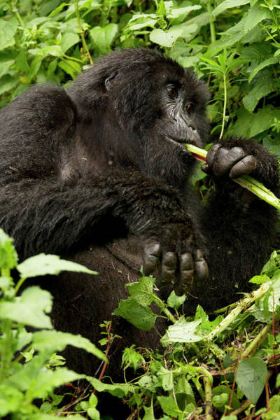 Critically Endangered Photograph - Africa, Rwanda, Volcanoes National by Joe and Mary Ann Mcdonald