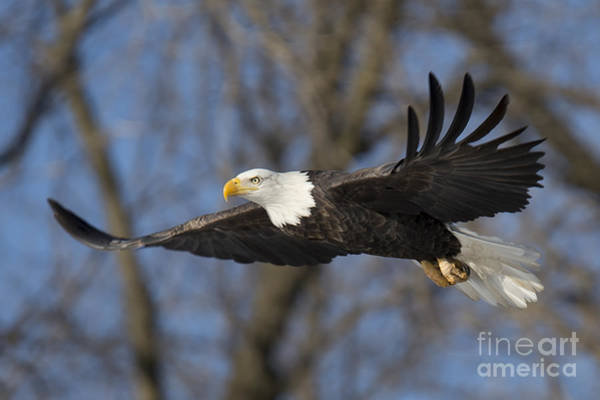 Two Birds Photograph - Bald Eagle In Le Claire Iowa by Twenty Two North Photography