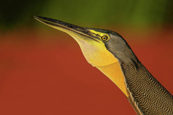 Body Parts Photograph - Bare-throated Tiger Heron Tigrisoma by Panoramic Images