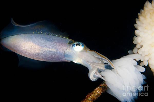 Bigfin Reef Squid Photograph - Bigfin Reef Squid Tending Eggs by Steve Jones