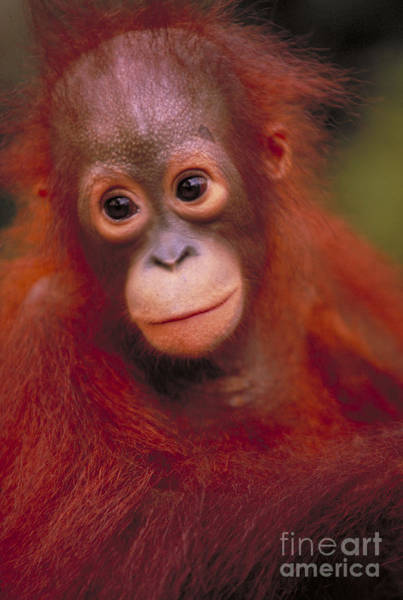 Photograph - Bornean Orangutan by Art Wolfe