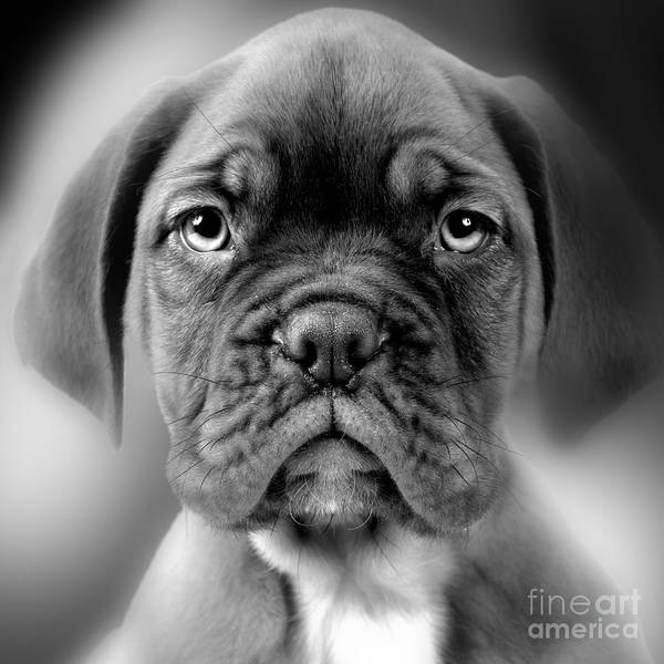 Photograph - Boxer Dog by Jean-Michel Labat