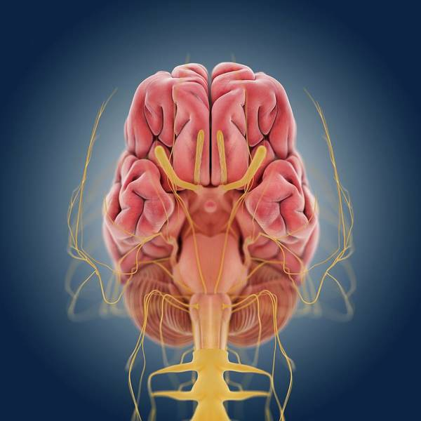 Wall Art - Photograph - Central Nervous System by Springer Medizin/science Photo Library