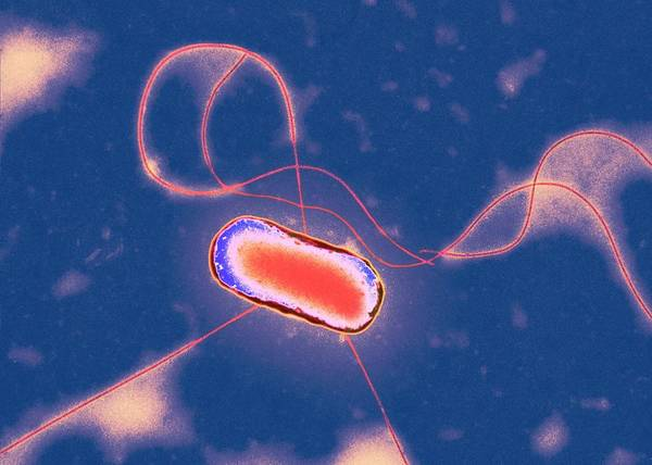 Wall Art - Photograph - E. Coli Bacterium by Centre For Infections/public Health England/science Photo Library