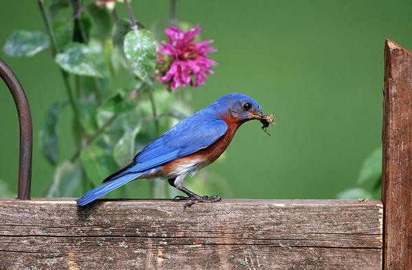 Backyard Bird Photograph - Eastern Bluebird (sialia Sialis by Richard and Susan Day