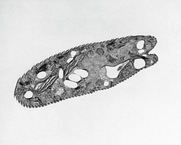 Wall Art - Photograph - Euglena Gracilis by Dennis Kunkel Microscopy/science Photo Library