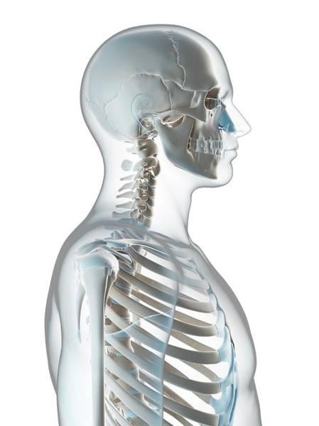 Human Skull And Neck Art Print by Sebastian Kaulitzki