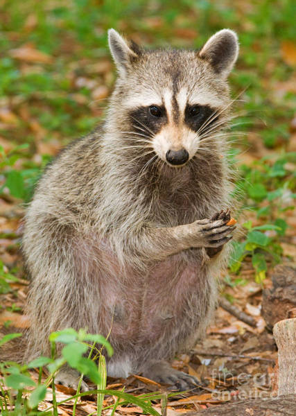 Duval County Photograph - Raccoon by Millard H. Sharp