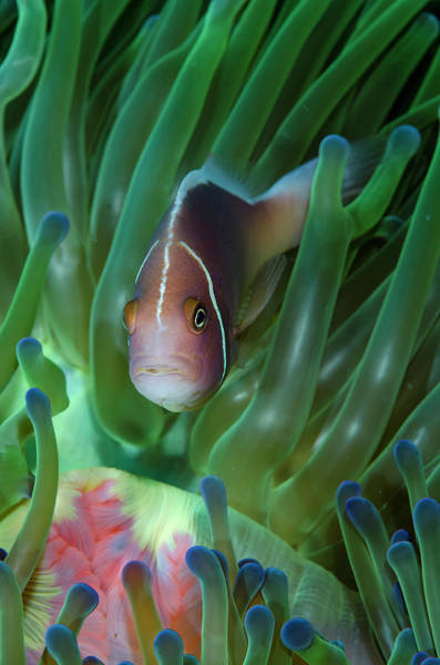 Anemonefish Photograph - South Pacific, Solomon Islands by Jaynes Gallery
