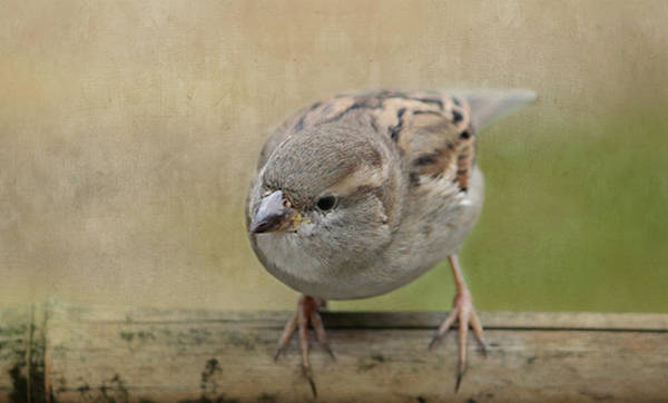 Wild Life Mixed Media - Sparrow by Heike Hultsch