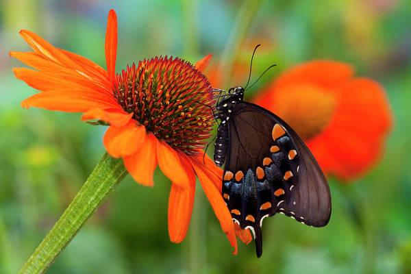 Wall Art - Photograph - Spicebush Swallowtail Butterfly by Darrell Gulin