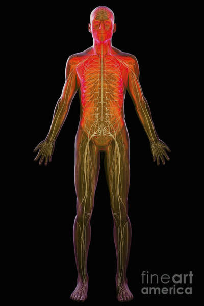 Photograph - The Nervous System by Science Picture Co