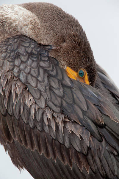 Double Crested Cormorant Photograph - Usa, Florida, Everglades National Park by Jaynes Gallery