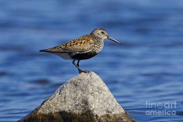 Calidris Alpina Wall Art - Photograph - 121213p018 by Arterra Picture Library