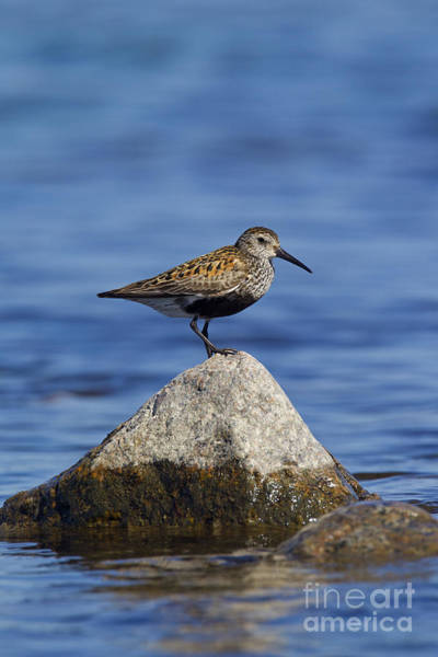 Calidris Alpina Wall Art - Photograph - 121213p019 by Arterra Picture Library