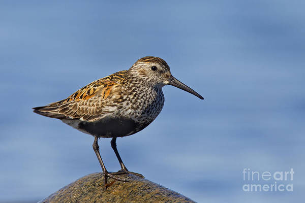Calidris Alpina Wall Art - Photograph - 121213p022 by Arterra Picture Library