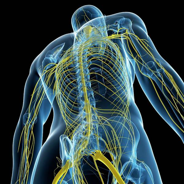 Wall Art - Photograph - Nervous System by Sciepro/science Photo Library