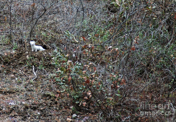 Photograph - 126p Ermine Or Short-tailed Weasel by NightVisions