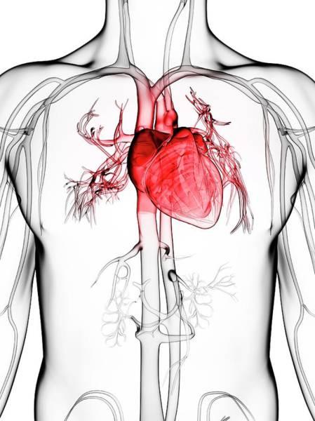 Wall Art - Photograph - Human Vascular System by Sebastian Kaulitzki