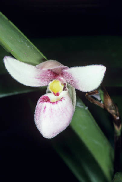 Colombian Wall Art - Photograph - Orchid Flower by Paul Harcourt Davies/science Photo Library