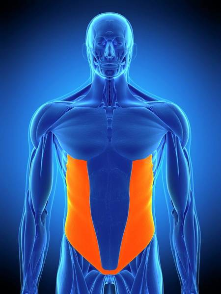 External Abdominal Oblique Photograph - Abdominal Muscle by Sebastian Kaulitzki/science Photo Library