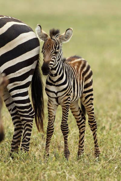 Parental Care Photograph - Africa, Tanzania, Serengeti National by Joe and Mary Ann Mcdonald