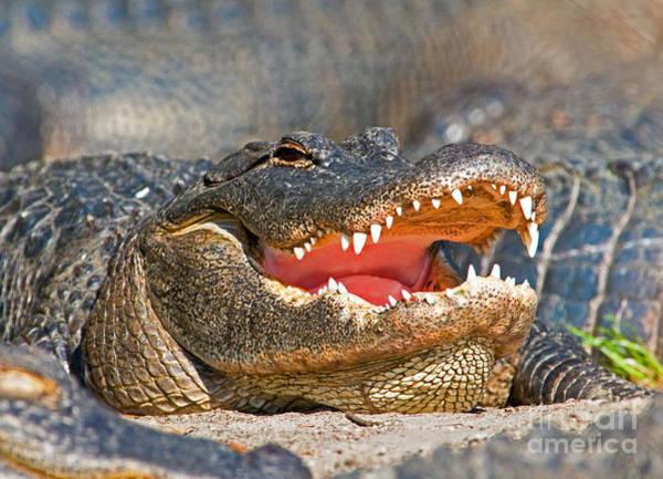Gator Photograph - American Alligator by Millard H. Sharp