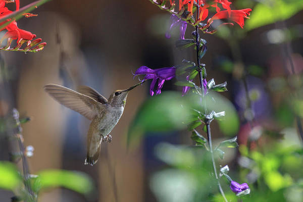 Wall Art - Photograph - Anna's Hummingbird by Tom Norring