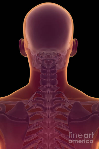 Photograph - Bones Of The Head And Neck by Science Picture Co