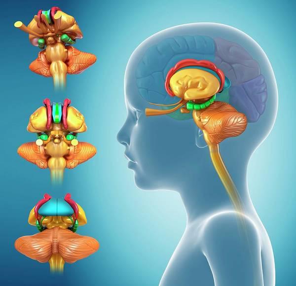 Olfactory Bulb Photograph - Child's Brain Anatomy by Pixologicstudio/science Photo Library