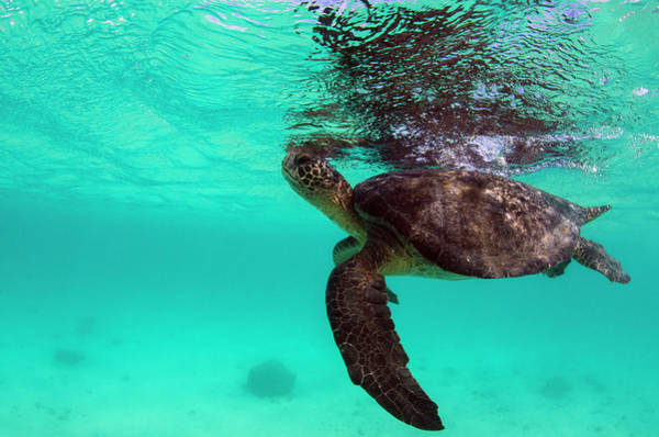 Galapagos Islands Wall Art - Photograph - Galapagos Green Sea Turtle (chelonia by Pete Oxford