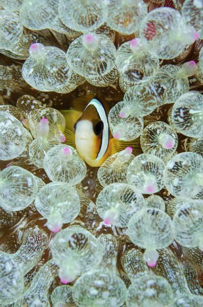 Anemonefish Photograph - Indonesia, Komodo National Park by Jaynes Gallery