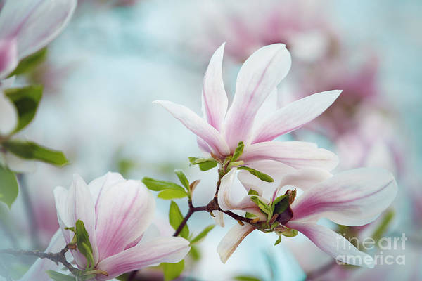 Pastel Photograph - Magnolia Flowers by Nailia Schwarz