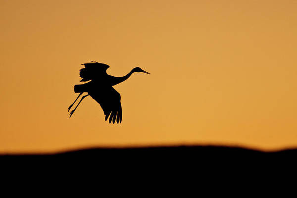 National Bird Photograph - Sandhill Crane (grus Canadensis by Larry Ditto