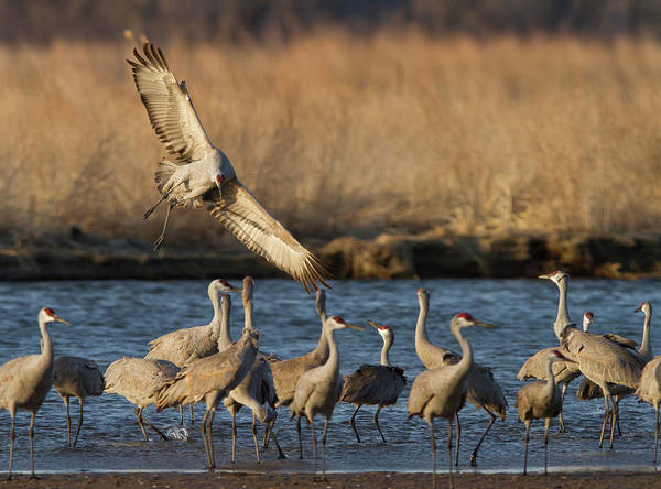 Wall Art - Photograph - Sandhill Cranes (grus Canadensis by William Sutton