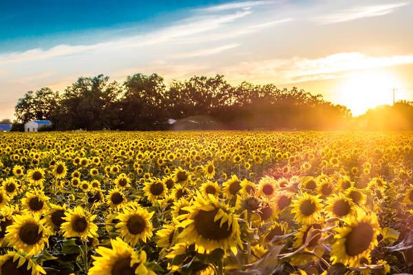 Photograph - Sun Setting Over The Sunflower Farm by Melinda Ledsome
