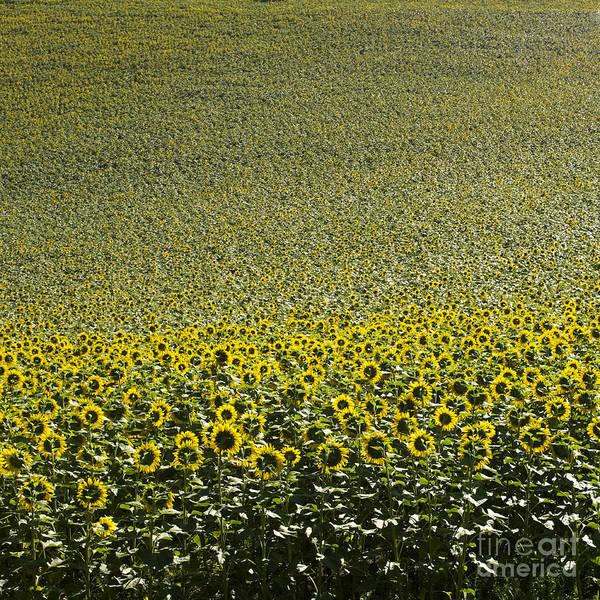 Abundant Wall Art - Photograph - Sunflowers by Bernard Jaubert