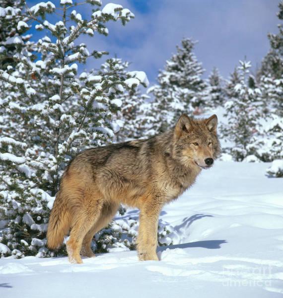 Photograph - Timber Wolf by Hans Reinhard