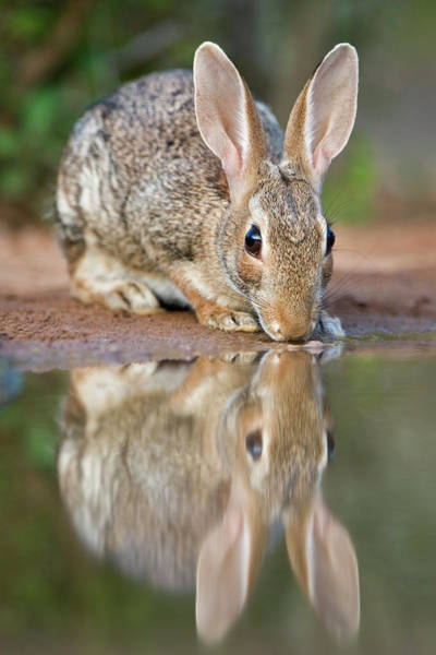 Cottontail Wall Art - Photograph - Usa, Texas, Rio Grande Valley by Jaynes Gallery