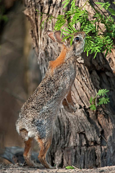 Cottontail Photograph - Usa, Texas, Santa Clara Ranch by Jaynes Gallery