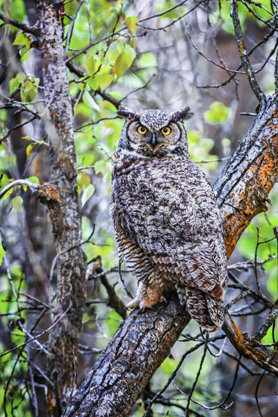 Photograph - 130518a-443 Great Horned Owl by Albert Seger