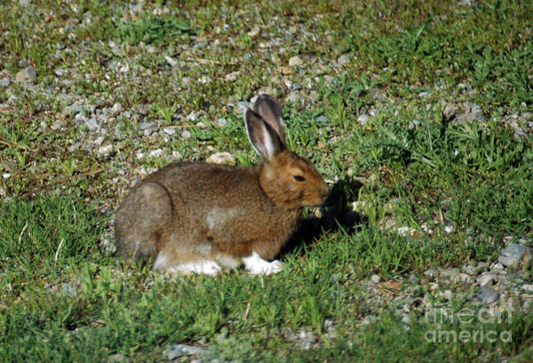 Photograph - 131p Snowshoe Hare by NightVisions
