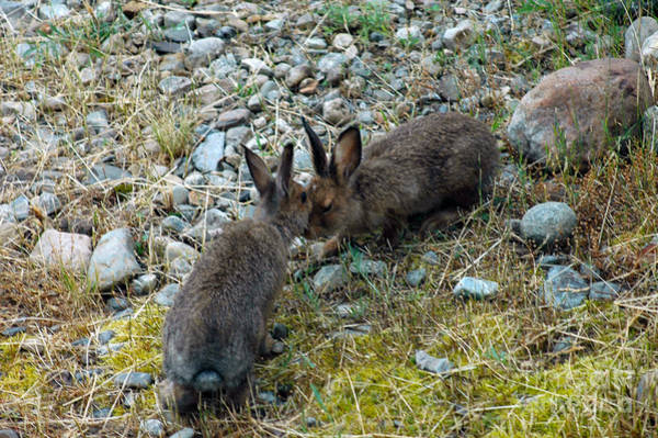 Photograph - 134p Snowshoe Hare by NightVisions