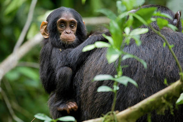 Monkey Wall Art - Photograph - Africa, Uganda, Kibale National Park by Kristin Mosher