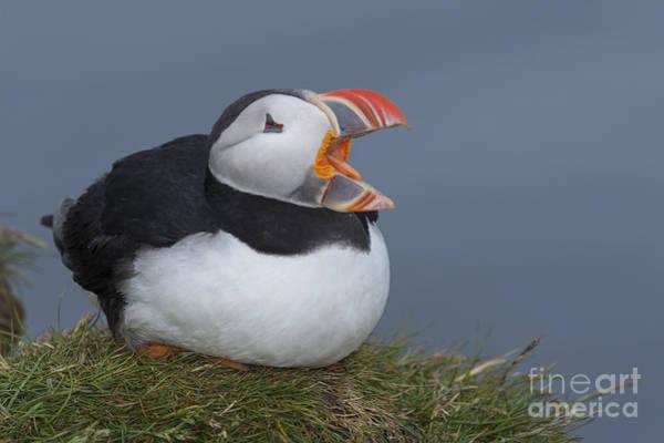 Squawk Photograph - Atlantic Puffin by John Shaw
