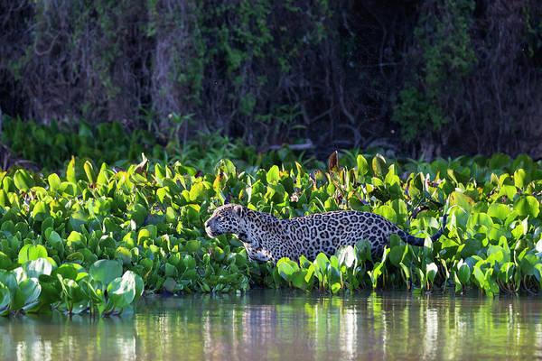 Confidence Photograph - Brazil, Mato Grosso, The Pantanal, Rio by Ellen Goff